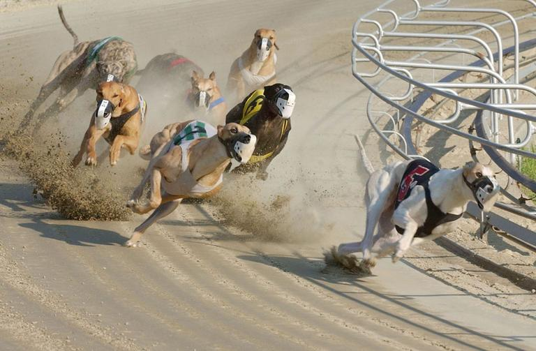 Greyhounds compete during a race at Wonderland Greyhound Park in Revere. (AP)