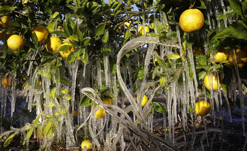 Icicles cling to oranges in Dover, Fla. (AP)