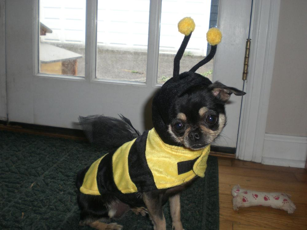 Dolly the dog, dressed up as a bumblebee for Halloween. (Dr. Jacqui Neilson)