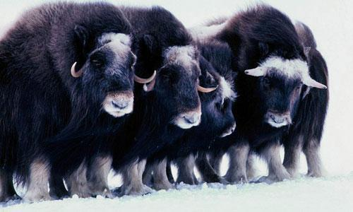 Musk oxen in the Arctic National Wildlife Refuge on Alaska's North Slope. (AP)