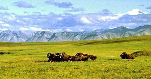 A herd of musk ox graze in an area of the Arctic National Wildlife Refuge in Alaska. (AP)