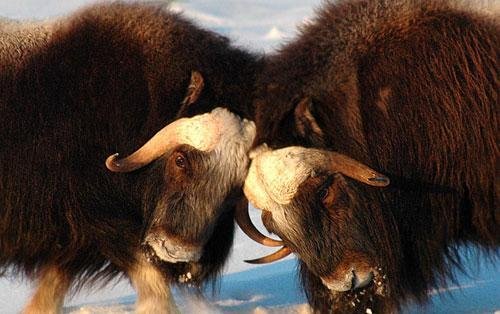Two musk ox bulls engage in butting contests as the bulls strive to determine dominance of a herd north of Nome on Alaska's Seward Peninsula, 2006. (AP)