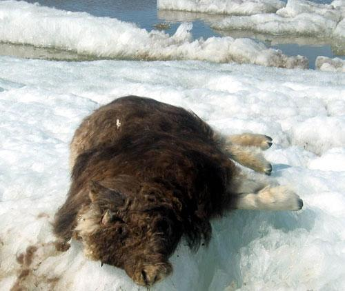 A dead musk ox on Alaska's North Slope in 2004. (AP)