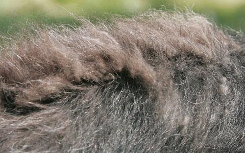 Qiviut, the ultra-soft brown undercoat of the musk ox, is seen on the back of a baby musk ox at a farm in Palmer, Alaska, 2005. (AP)