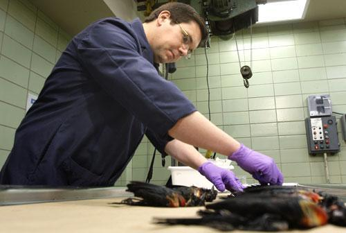 Assistant State Veterinarian Dr. Brandon Doss examines dead red-winged blackbirds in Little Rock, Ark., Jan. 3, 2011. (AP)