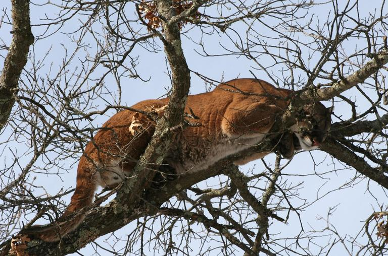 This 2009 picture provided by the Wisconsin Department of Natural Resources, shows a mountain lion in a tree west of Spooner, Wis. The cougar was eradicated in the Eastern U.S. years ago. (AP)