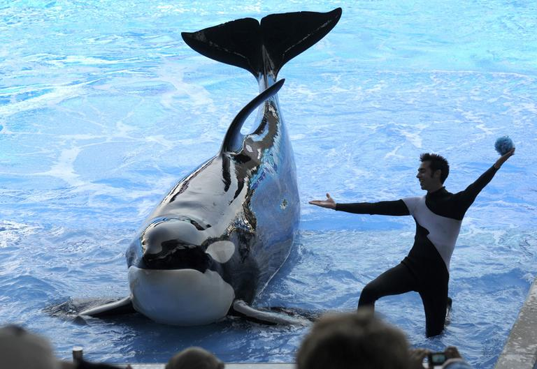 "Trainer Joe Sanchez works with killer whale Kayla during the ""Believe"" show in Shamu Stadium at the SeaWorld Orlando theme park in Orlando, Fla. (AP)"