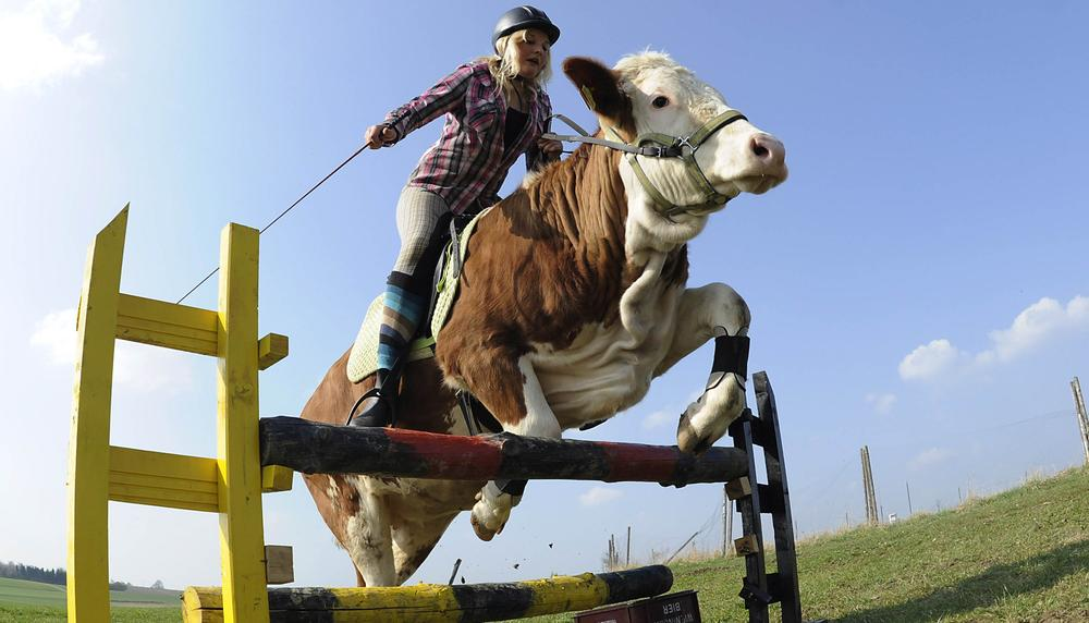 Regina Mayer and her cow Luna leap over a hurdle in southern Germany. (AP)