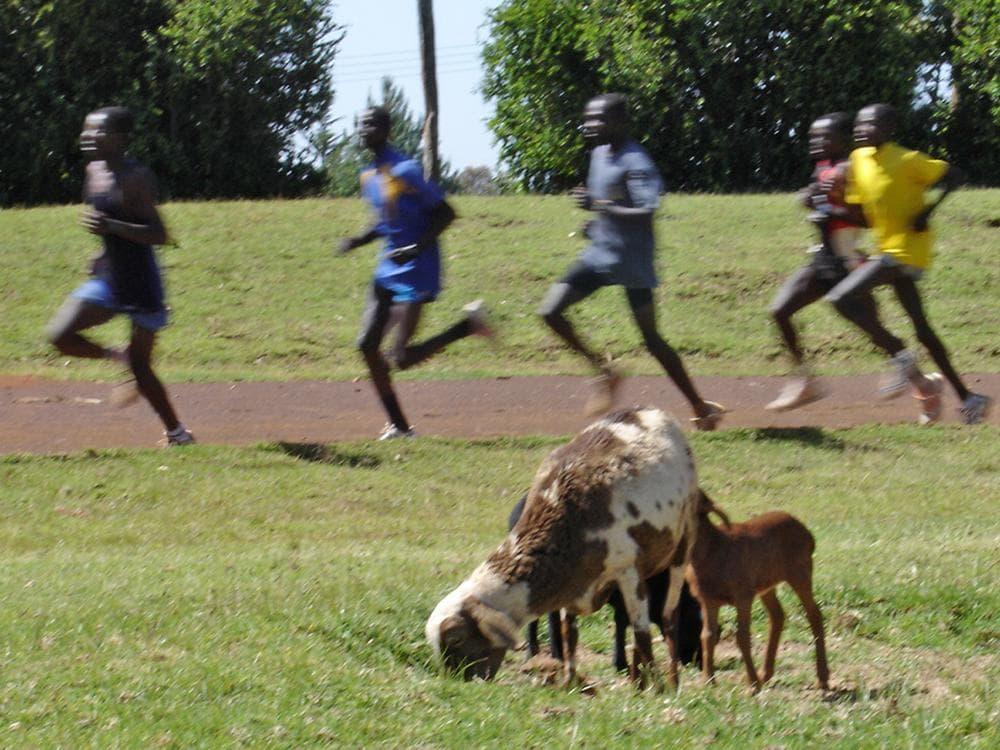 Goats graze on the infield of the Kamariny Show Grounds in Iten, Kenya. Hundreds of world-class distance runners train in Iten, including 2011 Boston marathon winner Geoffrey Mutai. (Karen Given/WBUR)