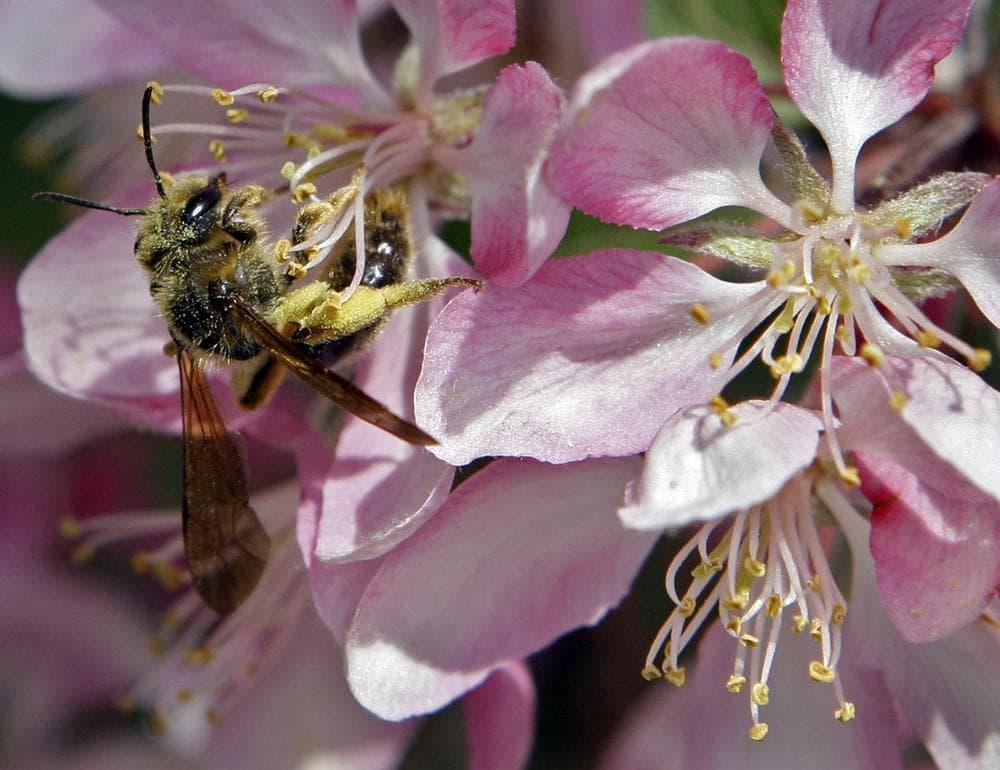 A honey bee collects pollen from a flowering tree in Cincinnati. (AP)