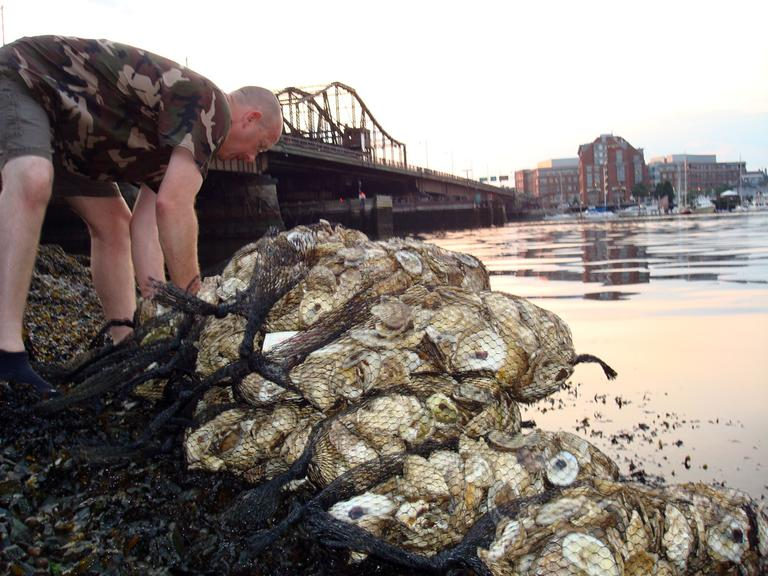 The Massachusetts Oysters Project is working to repopulate Boston Harbor with oysters. (Adam Ragusea/WBUR)