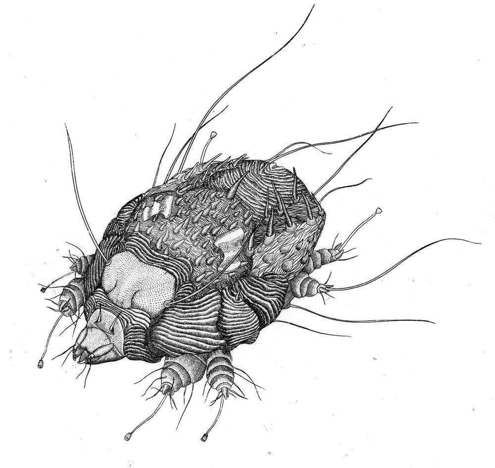 "Scabies Mite (Copyright Briony Morrow-Cri​bbs, from the book ""Wicked Bugs,"" courtesy of Algonquin Books)"