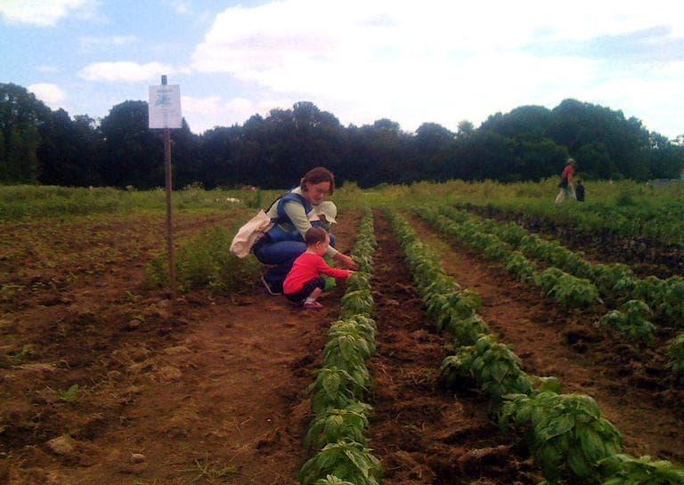 A family picks basil at Waltham Fields Community Farm in Waltham. (wayneandwax/Flickr)