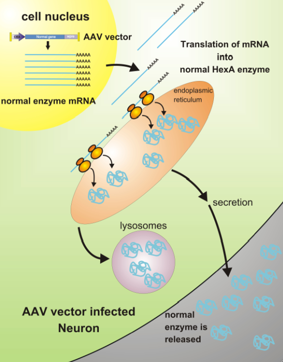 What happens in neurons after gene transfer: Recombinant adeno-associated virus (rAAV) vector carrying the normal Tay-Sachs gene instructs the neuron to make normal enzyme in large quantities. The normal enzyme is used to clear stored material in its own lysosomes, and also is released in large quantities for use by other cells.