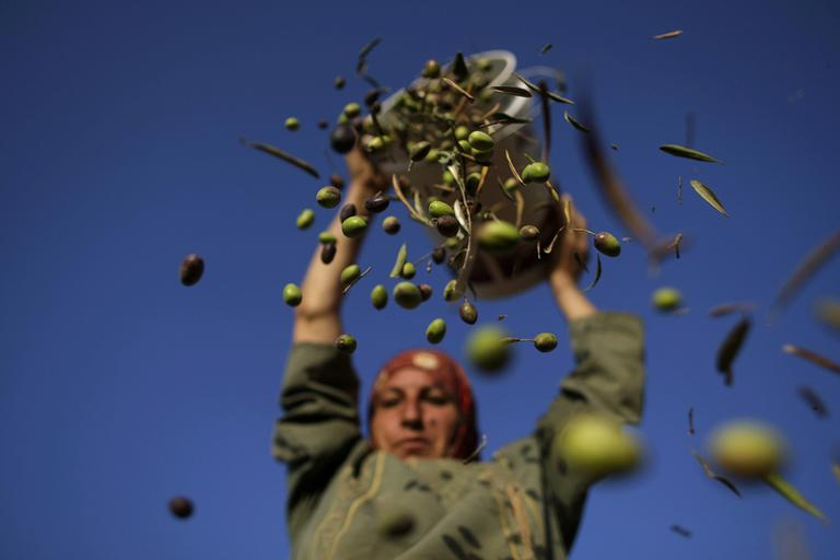 A farmer pours olives from a bucket she picked before sorting out the leaves during the harvest, Monday, Sept. 27, 2010. A staple of many farmers around the world, olives are often used to make olive oil. (AP)