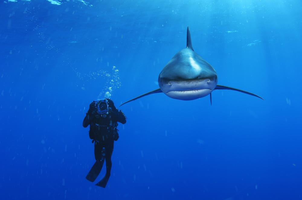 An Oceanic Whitetip Shark swims past a biologist with video camera in the Bahamas. (Brian Skerry)