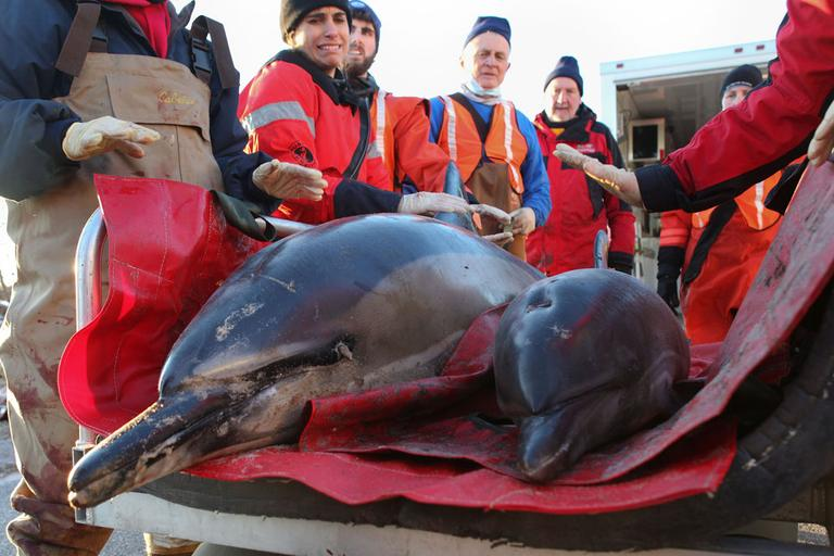 A mother and calf common dolphin are transported to the beach by a rescue team before being released back into Cape Cod Bay at Scusset Beach, Saturday, in Sagamore. (AP)