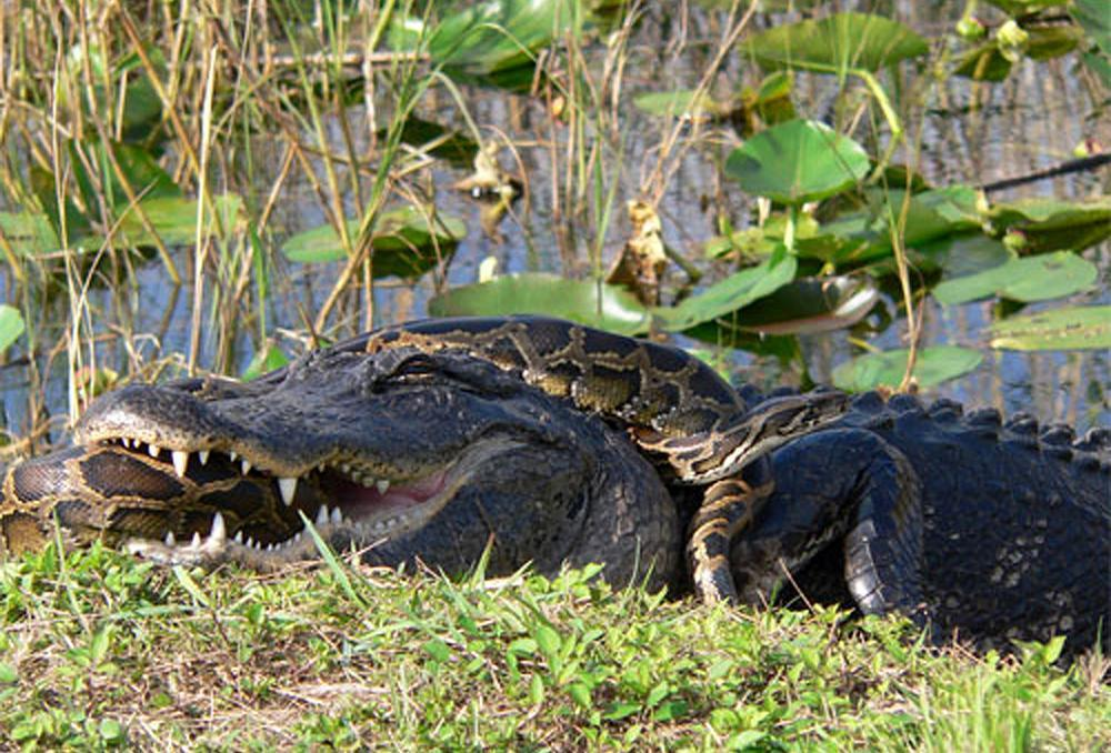 A Python Invasion And The Future Of The Everglades | On Point