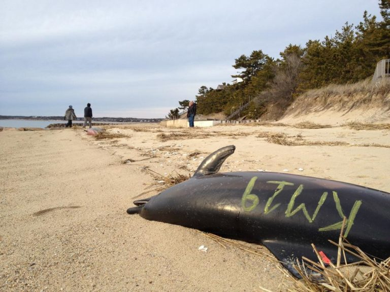 Rescue workers mark dead beached dolphins to distinguish them from one another. (Adam Ragusea/WBUR)