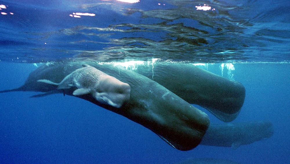 A sperm whale calf swims next to its mother and a pod of sperm whales June 15, 2001, about four miles off the coast of the Agat Marina in Guam. Sperm whales have learned to pluck sablefish from fishing lines being hauled from the depths of the Gulf of Alaska, showing a dexterity that belies their enormous size and toothy, underslung jaws. (AP)