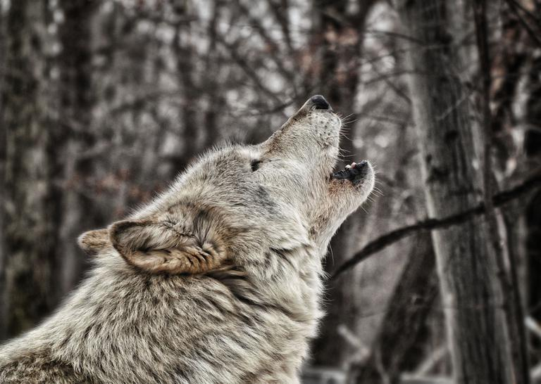 Howling wolf. (numbphoto/Flickr)
