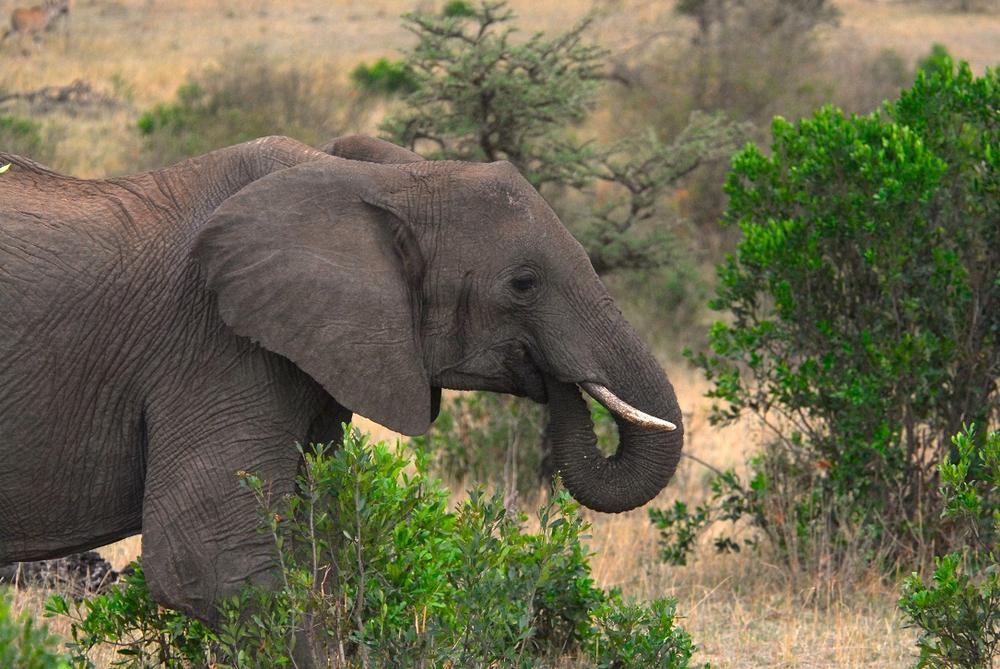 African elephant in Masai Mara National Park. Kenya. Africa (Kike Calvo via AP Images)