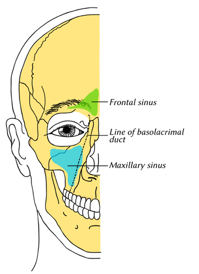 The paranasal sinuses in a reproduction of a lithograph plate from Gray's Anatomy (Wikipedia Commons)
