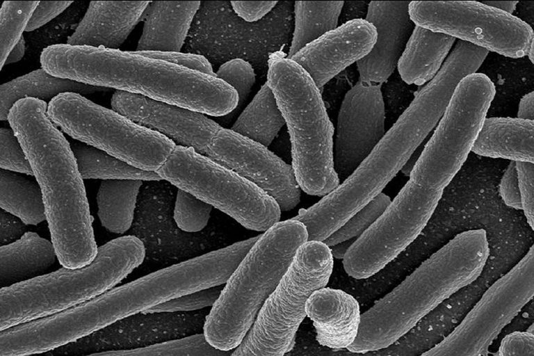 Bacteria under a microscope.