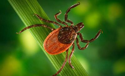 The Blacklegged tick, commonly referred to as the deer tick, is prevalent in Massachusetts. (AP)