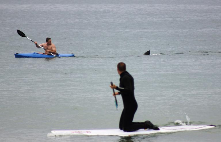 Walter Szulc Jr., in kayak at left, looks back at the dorsal fin of an approaching shark at Nauset Beach in Orleans on Saturday, July 7. (Shelly Negrotti via AP)