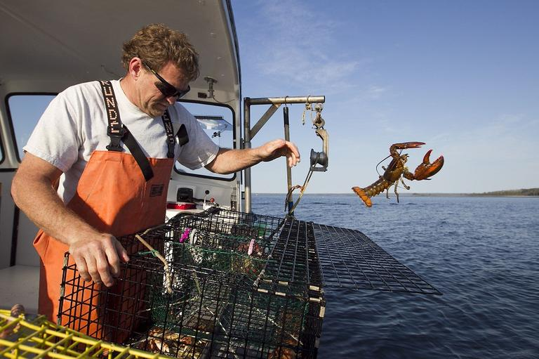Sternman Scott Beede returns an undersized lobster while checking traps in Mount Desert, Maine. (AP)
