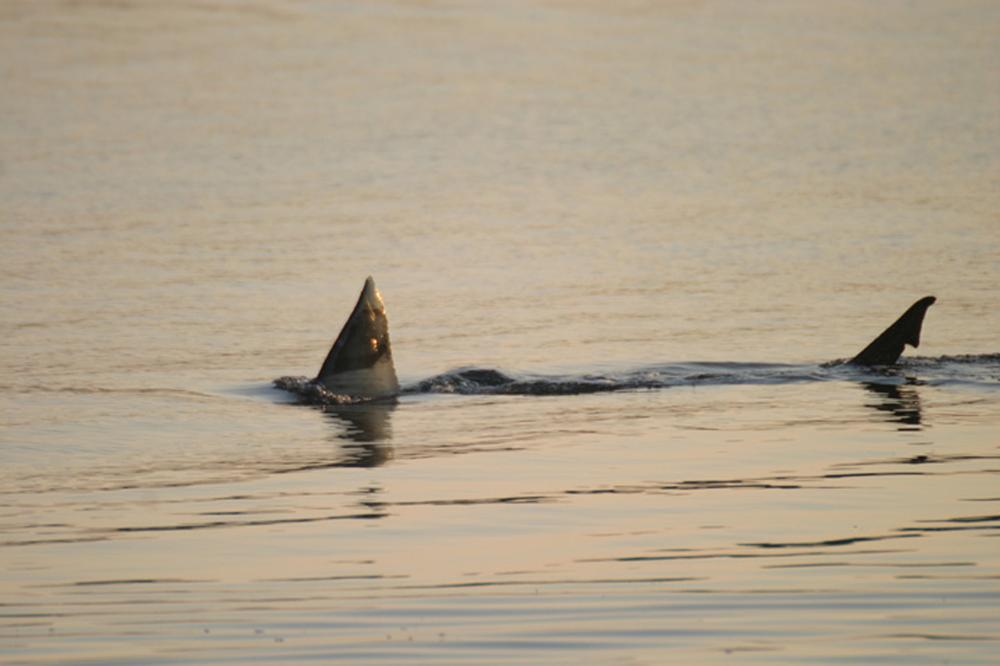 Great White Shark Researchers Turn Attention To Cape Cod Bay