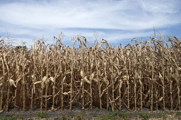 Dried corn plants in Yutan, Neb. (AP)