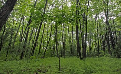 In this 2010 file photo, a new-growth black cherry tree sprouts up in a stand of birch trees on protected conservation land in Weston, Mass.  A study by researchers at Harvard and the Smithsonian Institution says Massachusetts has enough forest cover to absorb a million homes worth of carbon emissions, but that natural scrubbing effect could gradually diminish if current development trends continue. (AP Photo/Charles Krupa, File)