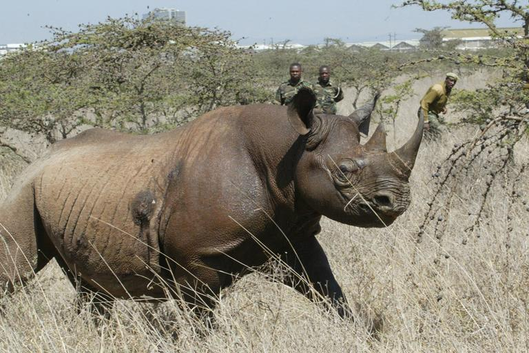 A 4-year old Female black Rhino, runs after it was darted at Nairobi National Park, Saturday, Jan. 14, 2006. Kenyan wildlife officials began relocating 33 endangered rhinos to the Meru National Park to restock the animal. (AP)
