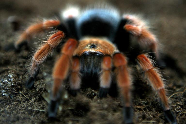 A tarantula spider is observes during a live spiders exhibition in the Bulgarian capital Sofia, Thursday, Jan. 22, 2009. (AP)