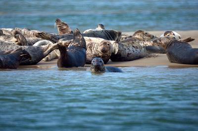 Grey Seals bask off of Cape Cod on August 19, 2011. (Flickr/Mike's Birds)