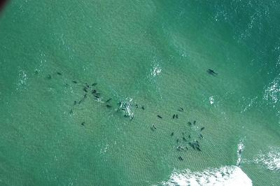 A white shark swims close to a pack of grey seals in the shallow water off Lighthouse Beach in Chatham. (Courtesy Massachusetts Energy and Environmental Affairs)