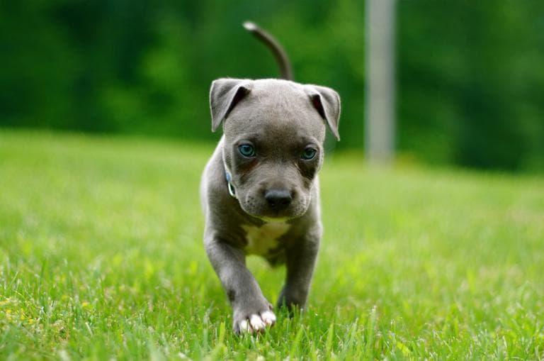 A pit bull puppy. (Funkybeatz/Flickr)