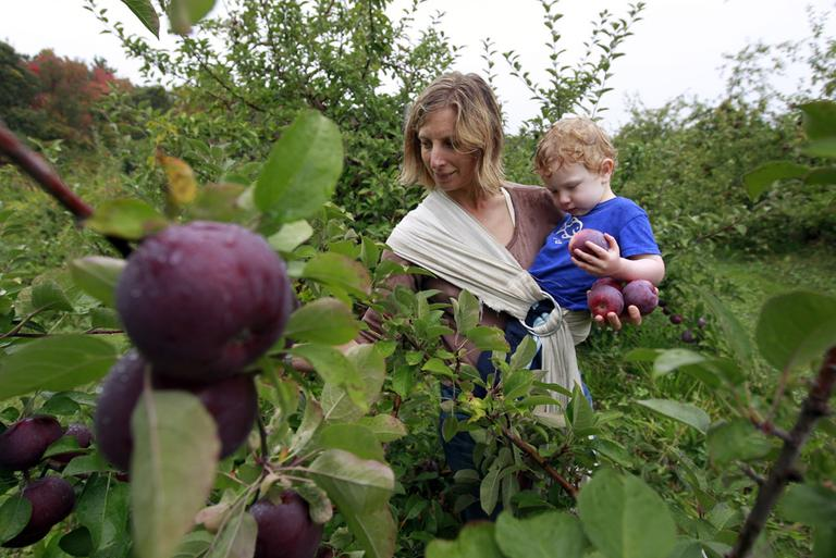 Hilary Graham, of Arlington, picks apples while holding her 2-year-old son Christopher at Carlson Orchards, in Harvard, Mass., on Tuesday. (AP)