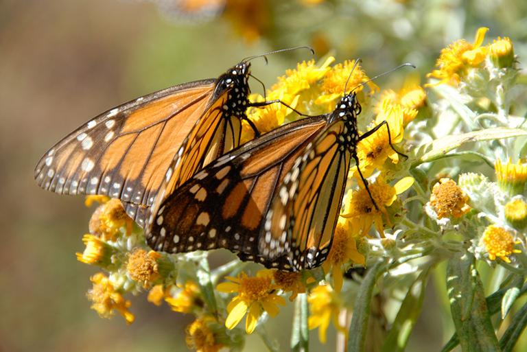 "Monarch butterflies are pictured in an image from the film ""Flight of the Butterflies"" (click to enlarge). (SK Films)"