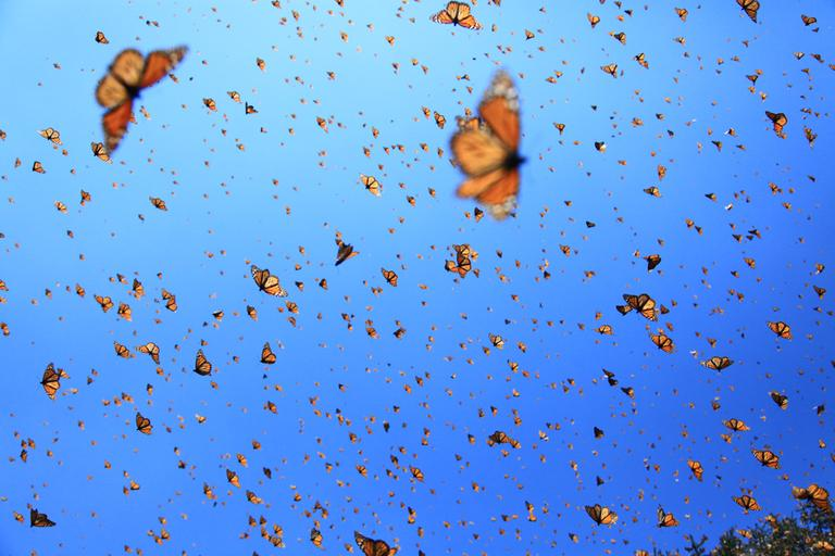 Monarchs in the sky. (SK Films)