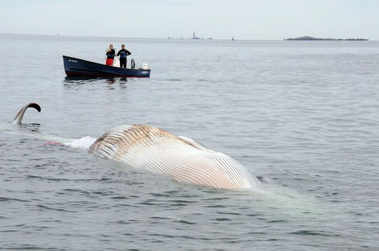 In this photo provided by the New England Aquarium, boaters watch as a dead 50-foot finback whale floats in the Boston Harbor, near Deer Island, Sunday, Oct. 7. (AP/The New England Aquarium)