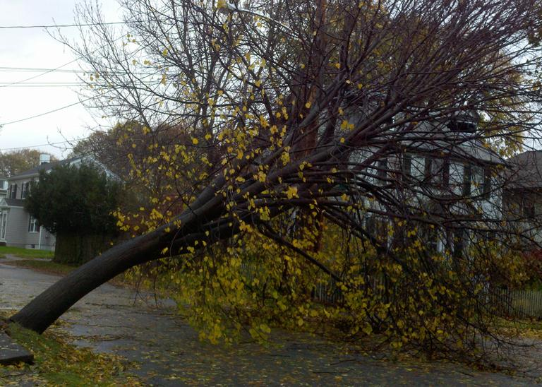 A tree rests on power lines in Belmont Tuesday morning after being knocked down by winds from Hurricane Sandy. (Jesse Costa/WBUR)