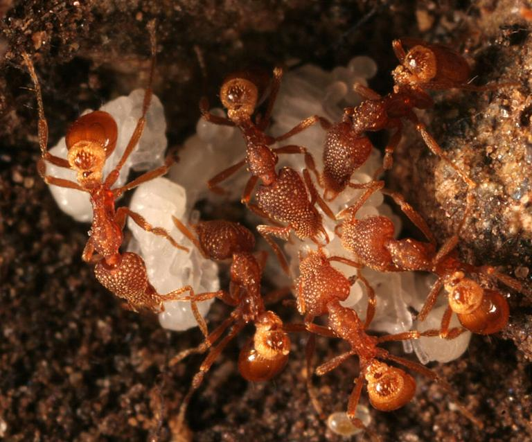 Pyramica ants. (Photo by Gary Alpert)