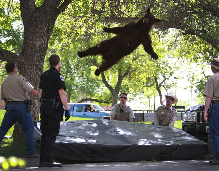 A bear that wandered into the University of Colorado Boulder, Colo., dorm complex Williams Village falling from a tree after being tranquilized by Colorado wildlife officials, April 26, 2012. Colorado University police spokesman Ryan Huff said the bear was likely 1-3 years old and weighed somewhere between 150-200 pounds. (AP Photo/CU Independent, Andy Duann)