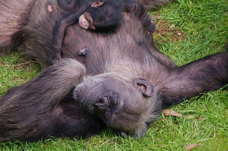 In this February 2012 photograph provided by Chimp Haven Inc., a retirement home for research chimpanzees in Shreveport, La., Flora, 29, rests with her two-day-old baby. (Chimp Haven Inc./Amy Fultz)