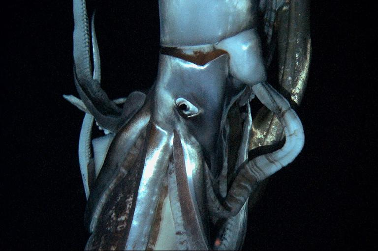In this television image made from video recorded in the summer of 2012 provided by NHK and Discovery Channel, a giant squid swims in the deep sea off Chichi island, Japan. (AP/NHK/Discovery Channel)