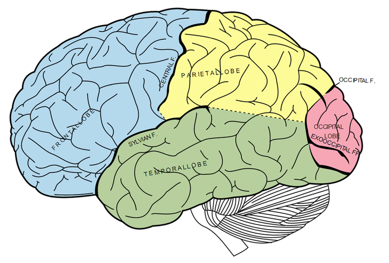 An image of the human brain from Gray's Anatomy. (Wikimedia Commons)