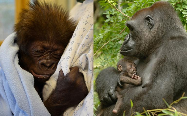The baby gorilla, at left, is learning to hold onto the keepers in a vetro-ventral position as a mother gorilla would hold her most of the time, at this age, as opposed to swaddling her like a human baby. At right is a photo of the Cincinnati Zoo's gorilla mom, Muke, holding her newborn Bakari in 2006, in a similar position. (Cincinnati Zoo & Botanical Garden)